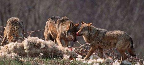 Το υπουργείο κωφεύει στις εκκλήσεις των κτηνοτρόφων της Τριχωνίδας για τις επιθέσεις των λύκων
