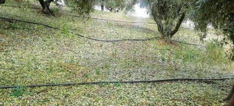 Μεγάλη η καταστροφή ελαιοδέντρων στο Ηράκλειο από χαλάζι και ανεμοστρόβιλο