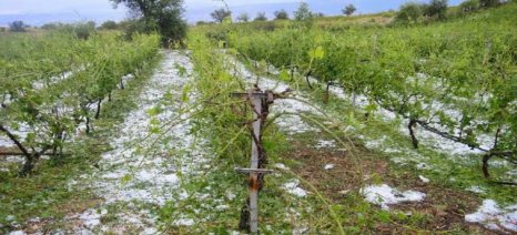 Παρέμβαση Κόκκαλη και ερώτηση Κέλλα για την ένταξη των αμπελοκαλλιεργητών του Τυρνάβου στα ΠΣΕΑ, λόγω παγετού