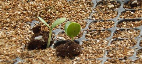 Άρχισαν να φυτρώνουν τα πρώτα σπόρια χαρουπιάς που θα δωρίσει στις πυρόπληκτες περιοχές της Αττικής το Πελίτι