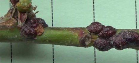 Επανεμφανίστηκε στους δενδρώνες της Ημαθίας το «χελωνάκι» της ροδακινιάς