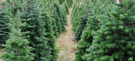Πιλοτικό πρόγραμμα παραγωγής πέλετ από χριστουγεννιάτικα δέντρα
