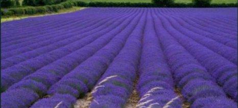 Ο Δήμος Ιωαννιτών παραχωρεί σε άνεργους αγροτική γη για αρωματικά φυτά