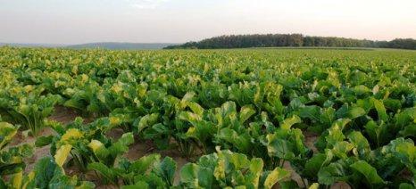 Στο στόχο των 25.000 στρεμμάτων αναμένεται να φτάσει φέτος η καλλιέργεια τεύτλων