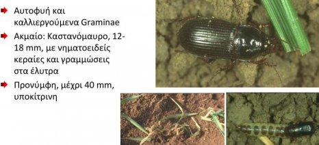 Το σκαθάρι ζάμπρος εμφανίστηκε στα σιτοχώραφα της Θεσσαλίας - πώς αντιμετωπίζεται