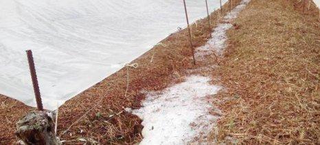 Ζημιές σε ελιές, σύκα και σταφίδες από το χαλάζι και τη βροχή στη Μεσσηνία