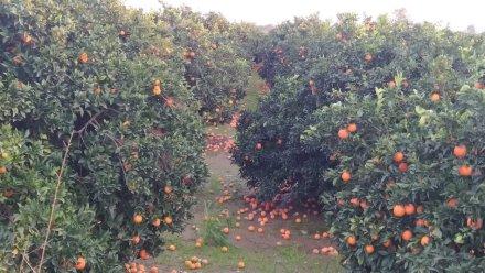 AgroPublic | portokalia stratos 4